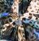 3-0135 Zilganbrūna tauriņraksta midi kleita ar izgriezumiņu aizmugurē
